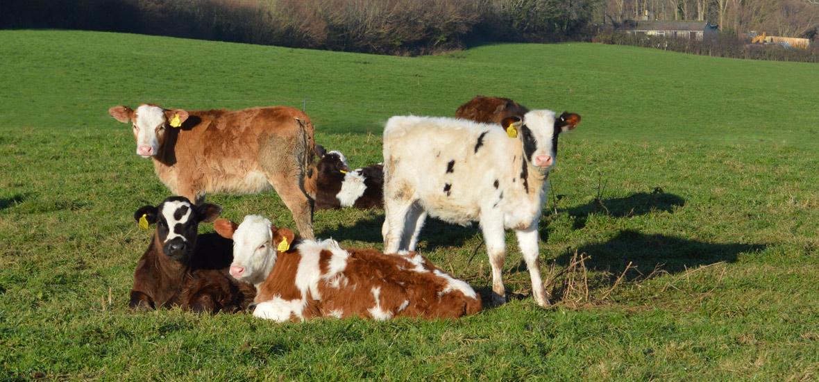cow-calves-01